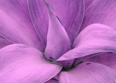 largesucculent purple